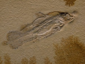 Cœlacanthe fossile du Jurassique. Image sous licence Wikipedia commons.